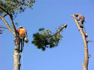 Right and Wrong Ways To Trim Trees