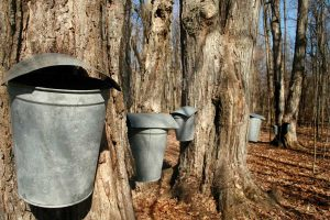 Tapping Trees For Maple Syrup Sap